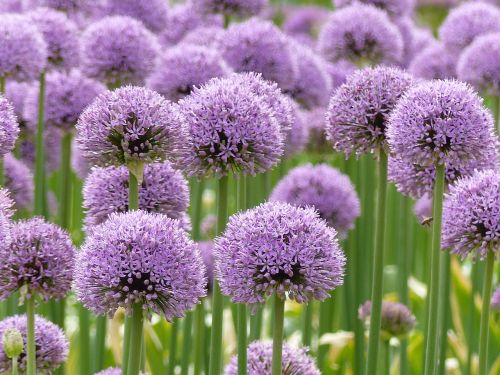 purple allium flowers