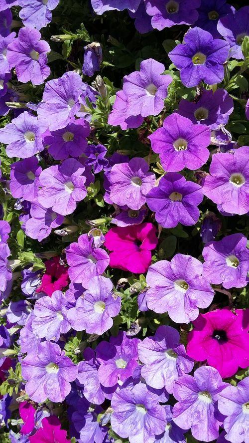 violetinė,gėlės,saulė,gėlė violetinė,augalas,purpurinė gėlė,žiedas,žydėti,violetinė,vasara