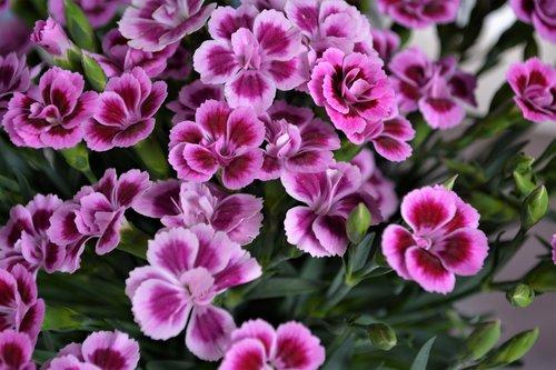 violetinė, rožinis, gėlė, žiedas, žydi, pobūdį, augalų, vasara, pavasaris, gėlė violetinė, violetinė gėlė, rausvos gėlės, violetinė žydi, Sodas, žydi, Iš arti, saulėgrąžų, sodo augalų