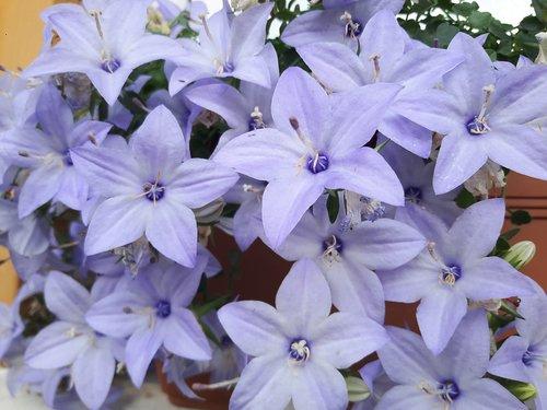 purple  lila  flower