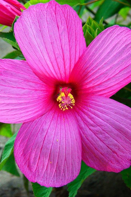 purple  pink  hibiscus