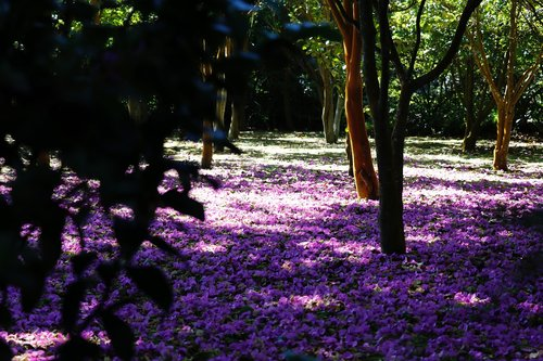 purple  flower carpet  flowers