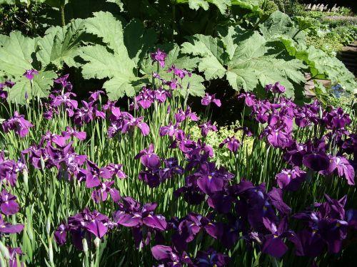 purple,flowers,iris,floral,botanical