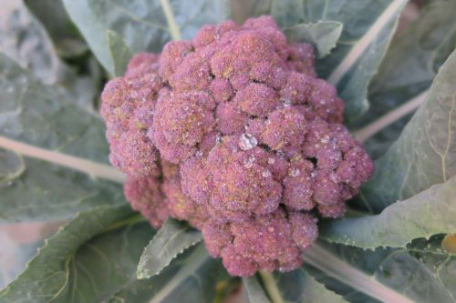 purple broccoli small fresh