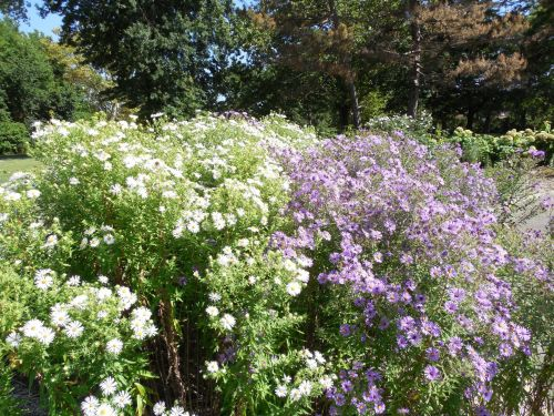 Purple And White Asters