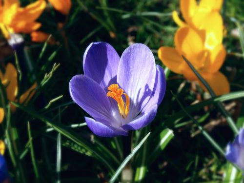 purple and yellow crocus spring flowers foliage