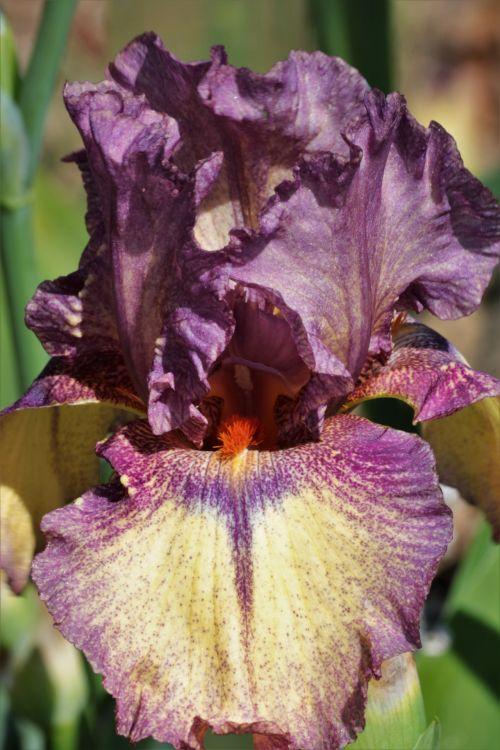 gamta, augalai, gėlės, flora, violetinė & nbsp, gėlė, pavasaris & nbsp, gėlė, iris, barzdotasis & nbsp, iris, Iš arti, gėlių & nbsp, žiedlapių, violetinės & nbsp, žiedlapys, tekančios & nbsp, žiedlapių, violetinė, barzdotais rainelė arti 2
