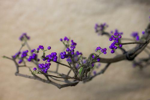 purple berry crop plant