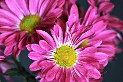 Purple Chrysanthemums Close-up 2