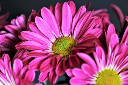 Purple Chrysanthemums Close-up