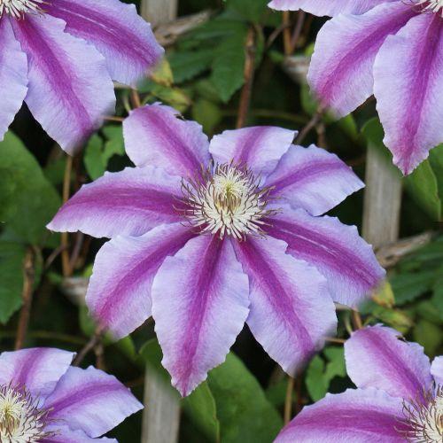 gėlė, Clematis, violetinė, rožinis, žydėti, žiedas, gamta, sodas, alpinizmas & nbsp, vynuogių, besiūliai & nbsp, plytelės, pakartoti & nbsp, modelį, nemokama & nbsp, nemokama, nemokamas & nbsp, vaizdas, fonas, besiūliai, kartojasi, violetinė Clematis besiūlinė plytelė