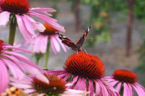 purple coneflower echinacea purpurea butterfly