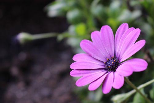purple cosmos flower,sun flower,purple flower,plant,nature,summer flower,flower garden,annual flowers,macro