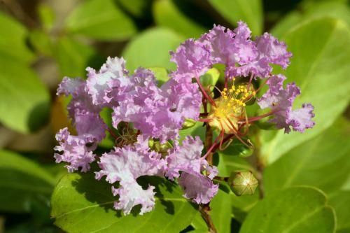 Purple Crepe Myrtle Bloom