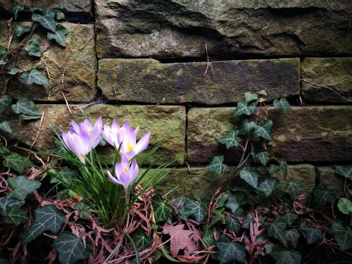 purple crocus stone wall wall