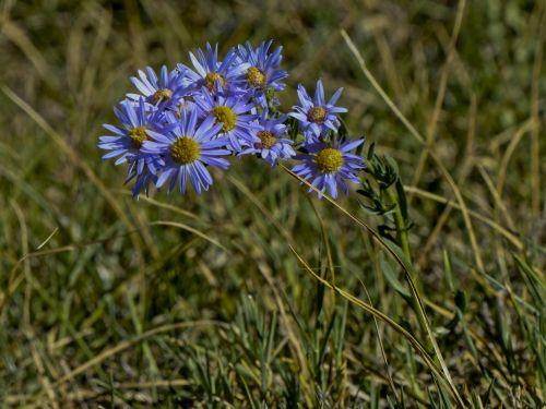 Purple Daisies In A Field
