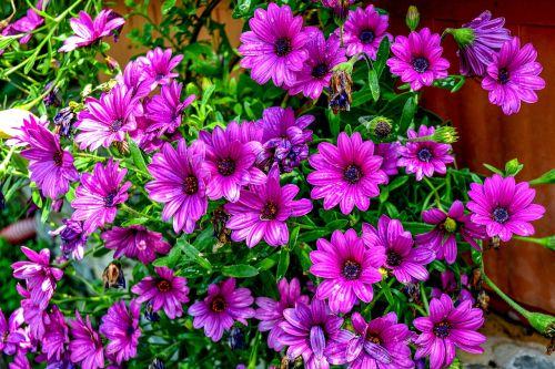 purple daisies purple flower