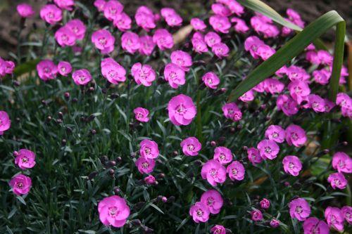 Purple Dianthus Flowers