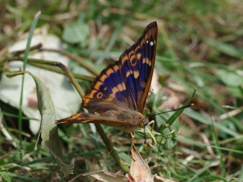 purple emperor butterfly lesser purple emperor