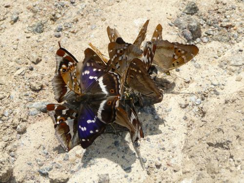 purple emperor butterflies lesser purple emperor
