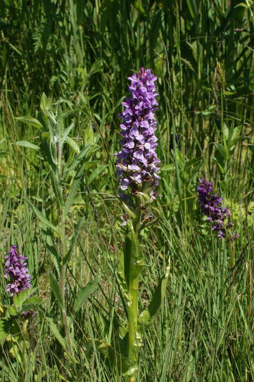 purpurinė gėlė,orchidėja,gamta,botanikos,natūralus,biologinė įvairovė,trapumas