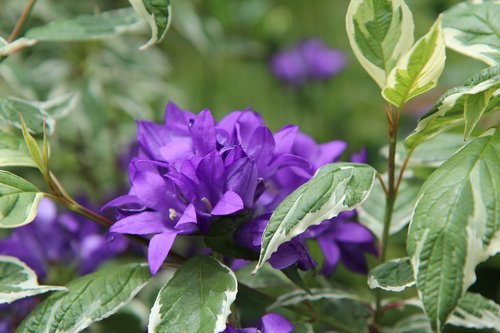 purple flower  flowering  perennial