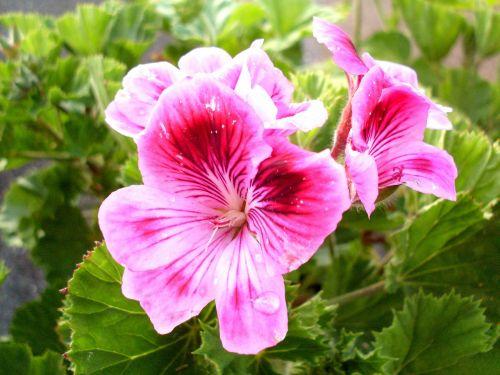 purple flower geranium flowers
