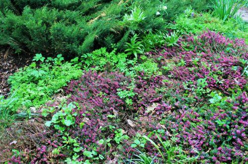 Purple Flower Bushes
