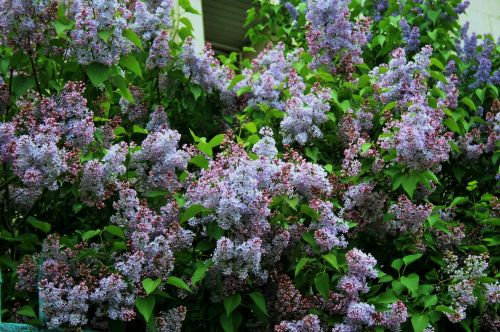 Purple Flower Clusters, Moscow