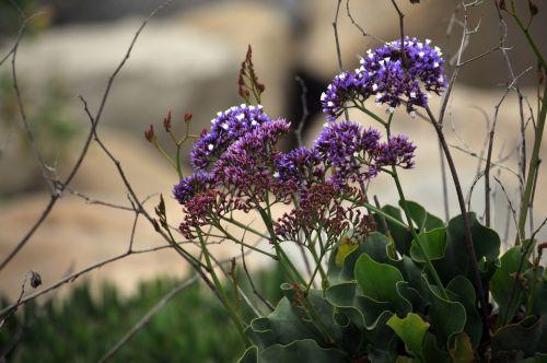 buddleja, drugelis & nbsp, krūmas, krūmas, krūmas, augalas, wildflower, laukinės vasaros spalvos, Allium, violetinė, gėlė, gėlės, gėlių, Iš arti, gamta, Laisvas, viešasis & nbsp, domenas, purpurinis žydintis krūmas