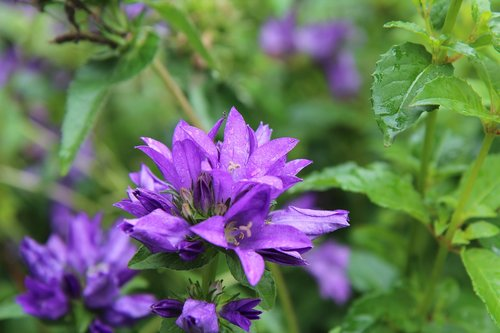 purple flowers  flowering  perennial