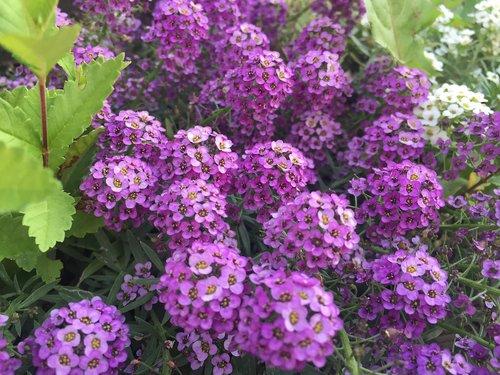 purple flowers  nature  garden