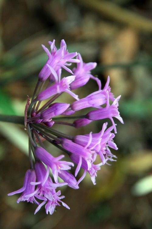 Purple Garlic Flowers