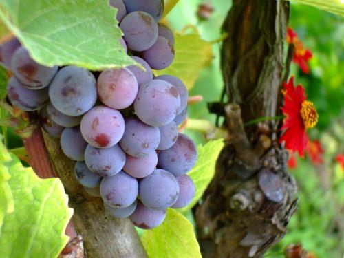 purple grape grape fruit