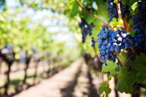 purple grapes vineyard napa valley