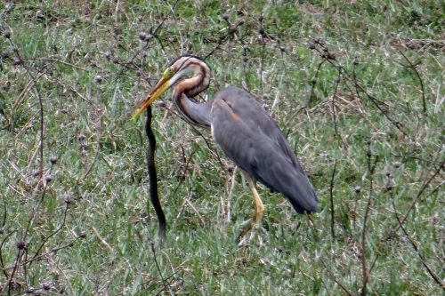 purple heron ardea purpurea wader