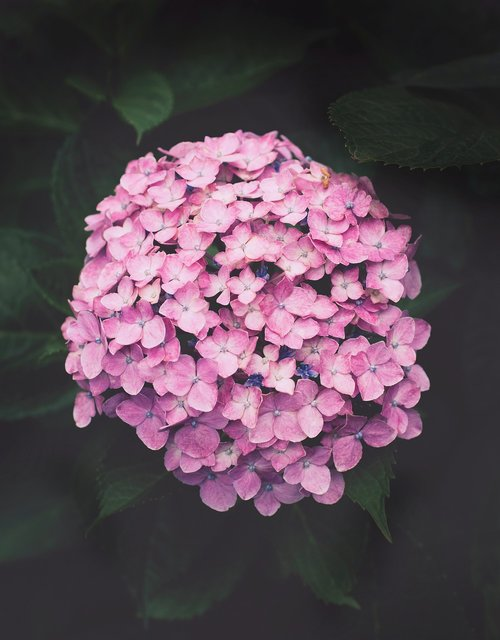 purple hydrangeas  flower  plant