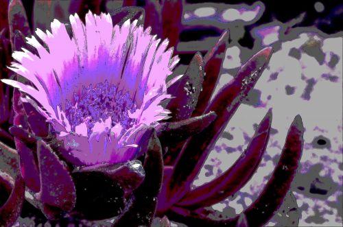 Purple Ice Plant Flower