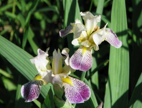 purple iris northern blue flag iris versicolor