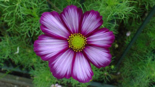 Purple Lilac Yellow Flower
