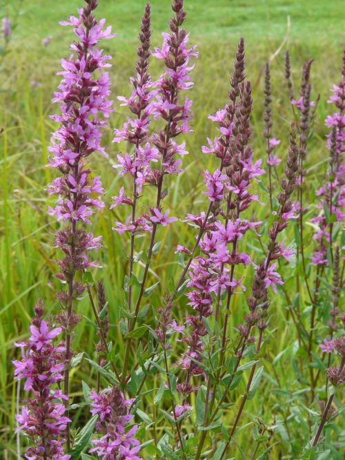 purple loosestrife flower flora