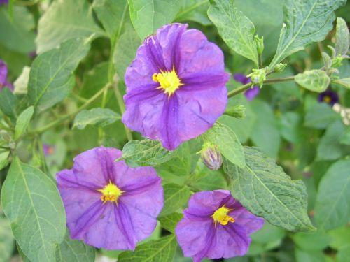 Purple Night Shade Flower
