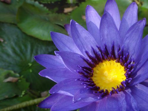 purple nymphaea alba nymphaea alba purple