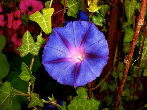purple pageantry winds imopea purpurea climber