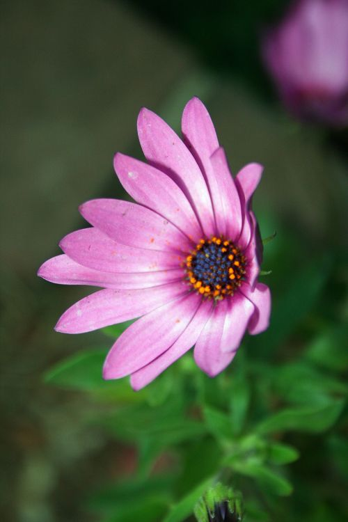 Purple-pink Daisy