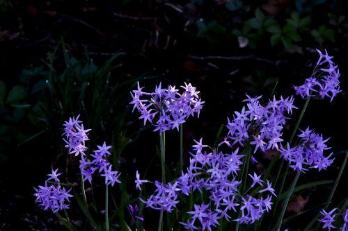 Purple Starlet Flowers