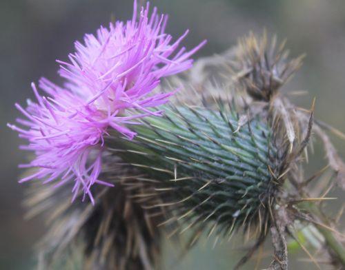 Purple Thorny Flower