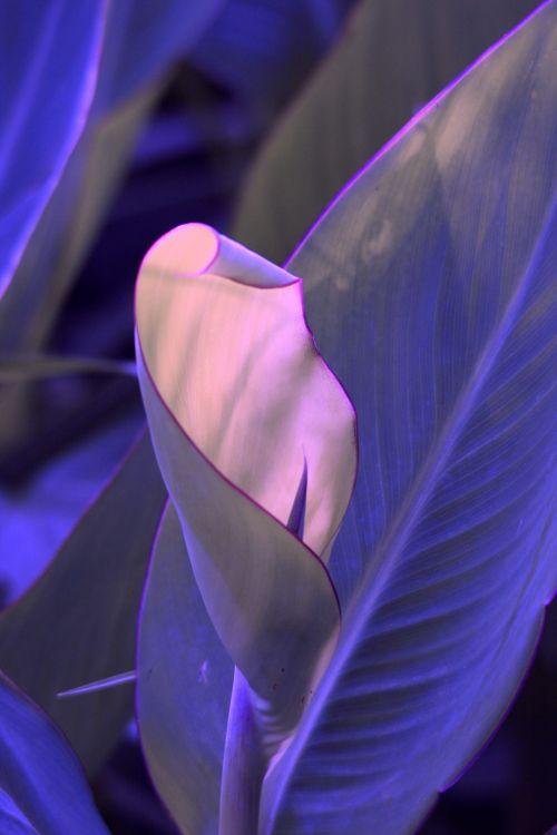 Purple Tinted Canna Leaf