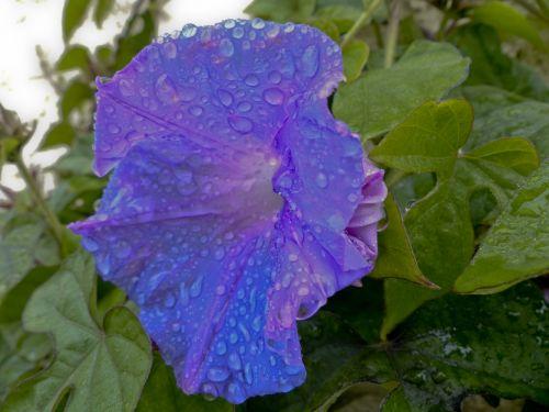 Purple Trumpet Flower