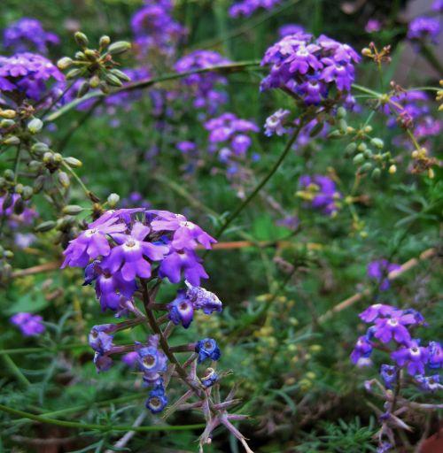 Purple Verbena In Garden